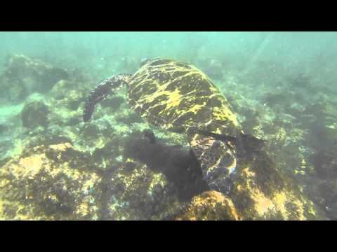Hilo Hawaii snorkeling with giant sea turtles @ Punalu'u Black Sand Beach
