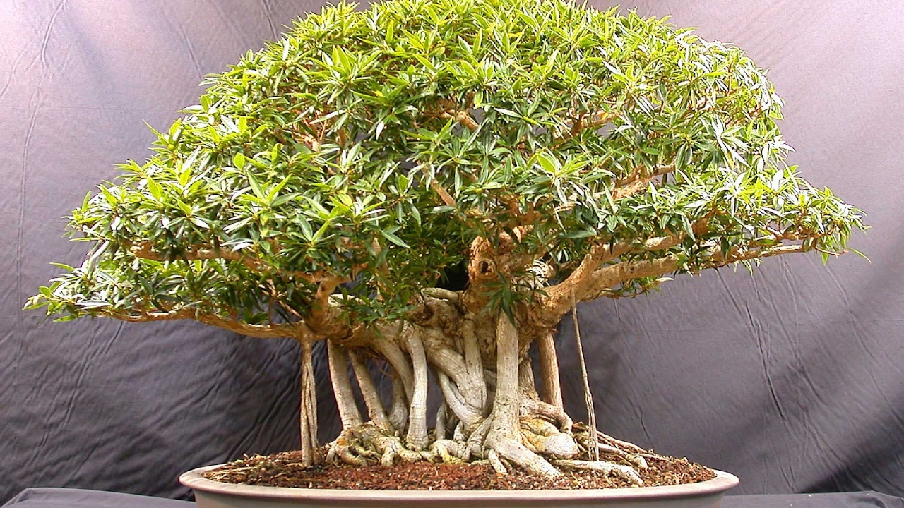 Bonsai trees for beginners india