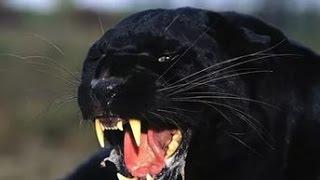 Чёрный леопард - в поисках легенды
