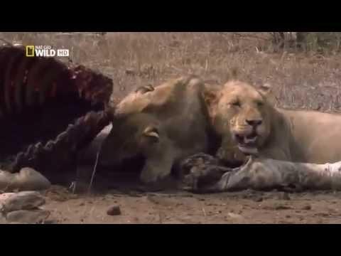 BEST LIONS documentary 2015 -افضل فيديو وثائقي ( الاسود ) لعام ٢٠١٥