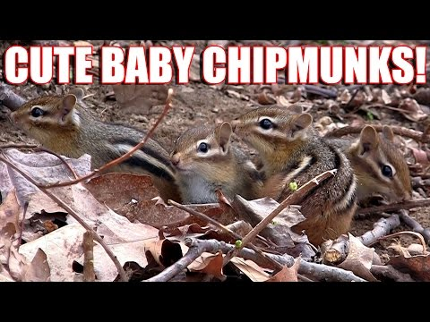 Cute Baby Chipmunks Eating Peanuts  | Backyard Diners and Dives Videos