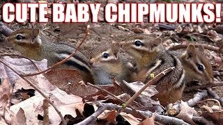 Cute Baby Chipmunks Playing Eating Backyard Habitat Baby Animals Loving Tug-O-War