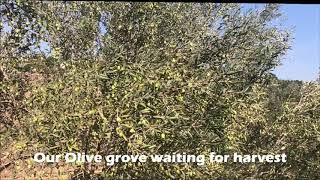 The Galilee -  land of olives