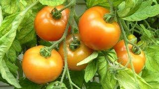 Tomaten ganz leicht selber anbauen