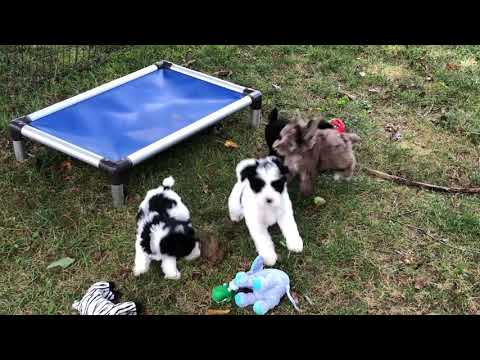 Buffy's Schnoodle Puppies 8-29-19 Getting New Collars