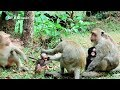 April Fighting Babymonkey Bronco - SP BBlover - Bronco Need Eat
