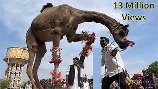 Camel  Dance कभी देखा है ऐसा ऊँट नृत्य डांस India