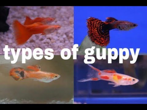 Types Of Guppy Fish 🐬