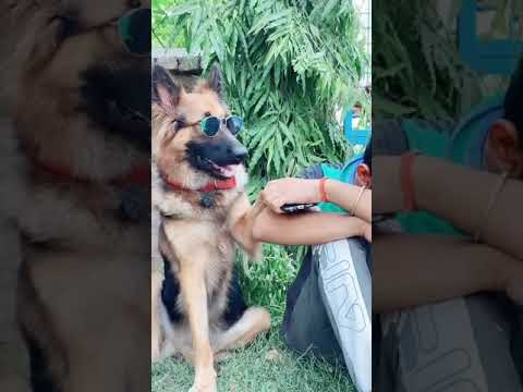 Girlfriend se Didi bahut yaad aati h???? funny dog video | #shorts | Akash comedy