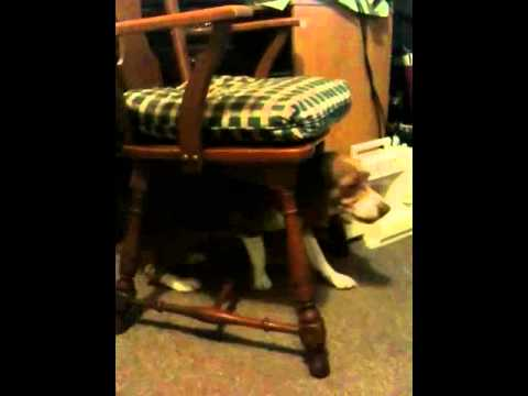 Charmant Dog Scratching His Back With A Chair