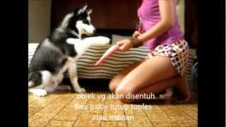 Siberian Husky Berlatih Paw Targeting - Touch Object