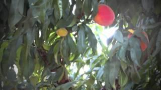Texas Hill Country Peaches: Visit Fredericksburg Tx
