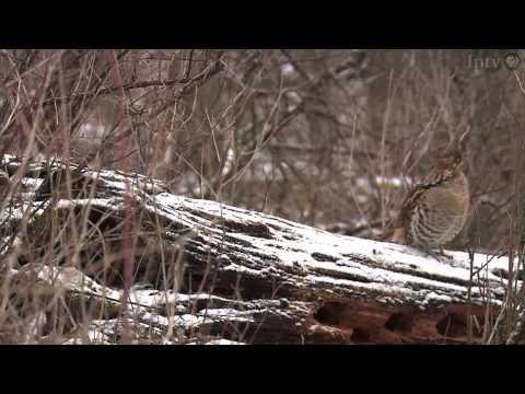 Ruffed Grouse Habitat, Highlandville, Iowa