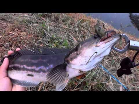 ตีจิบปลาชะโดด้วยปลาดุกสด3