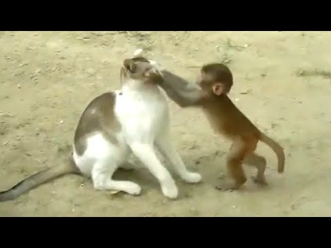 Cat and Monkey Playing | Very Unlikely Friends