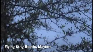 Flying Stag Beetle, Mayford