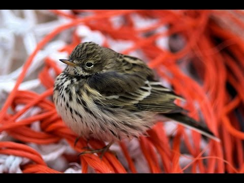 Meadow Pipit  Bird Call  BIRDSONG