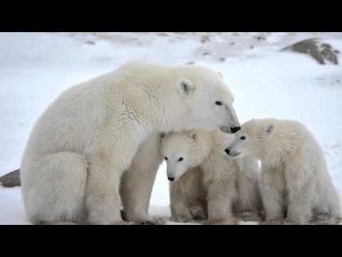 Белые медведи на закате Антарктиды....