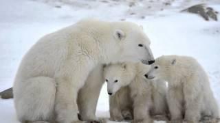 Белые медведи на закате Антарктиды....(Проекты ProShow Producer для Вашего творчества. Все составляющие проектов взяты из открытых источников сети Интер..., 2016-02-03T10:45:36.000Z)