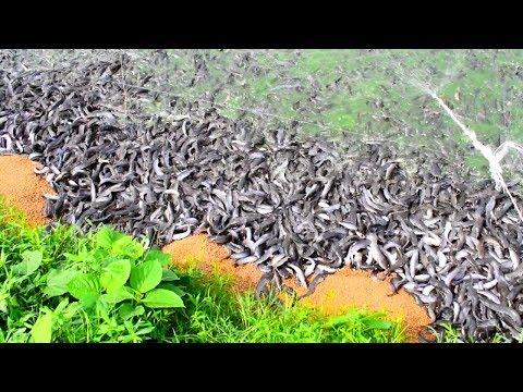 Repeat Hybrid Magur Fish Farming Business In India