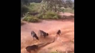 Собаки против большой змеи