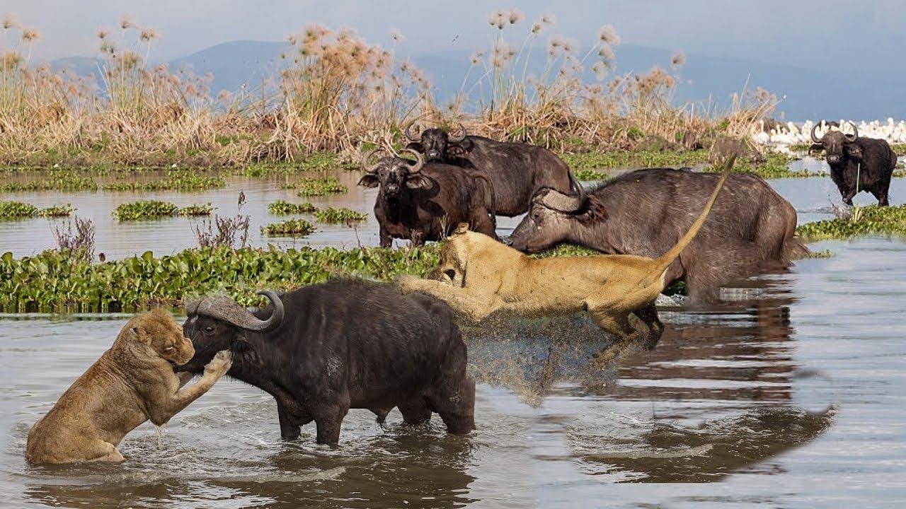 Wild Animals Fight Powerful Lion vs Monkey, Buffalo Lion ...