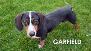 Midwest Dachshund Rescue 2010 - Mill Dogs, Shelter Dogs, & Breeder Releases