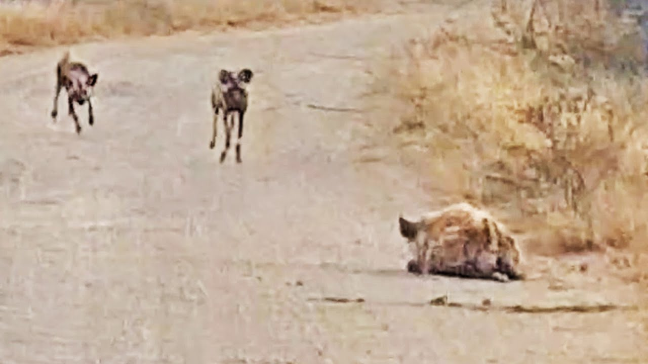 Hyena Tries Hiding from Wild Dogs in Plain Sight
