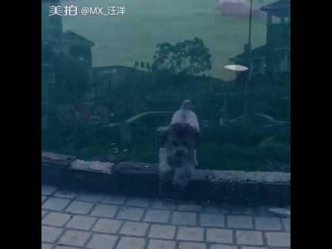#Grey VIP# #Dog# #Teddy# #Dog dog's daily# lifetime of companionship