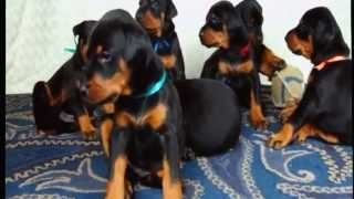 Doberman Puppies Grew Up, 1-6 Weeks Old