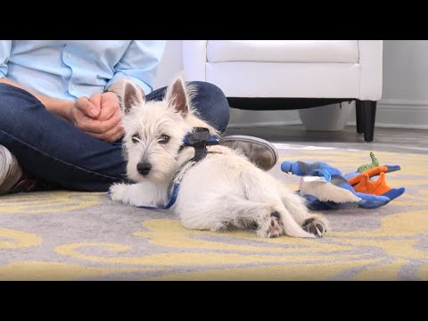 Westie Potty Training from World-Famous Dog Trainer Zak George - West Highland White Terrier