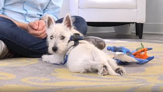 Westie Potty Training from WorldFamous Dog Trainer Zak George  West Highland White Terrier