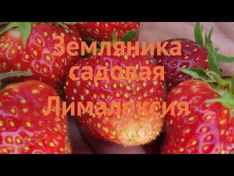 Земляника садовая Лималексия (limalexia) 🌿 обзор: как сажать, рассада, саженцы земляники Лималексия
