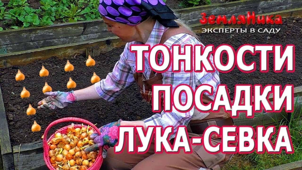 Тонкости посадки лука-севка. Когда сажать лук севок.