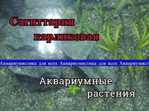 Сагиттария Карликовая (Sagittaria subulata) или Стрелолист