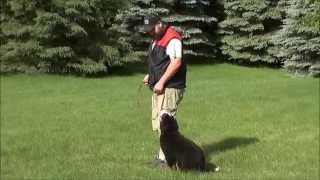 Moose (bernese Mountain Dog) Trained Dog Demonstration