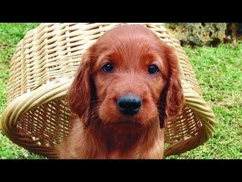 60 Seconds Of Cute Irish Setter Puppies!