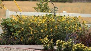 Suncredible Sunflower Update! 🌻🌻🌻// Garden Answer