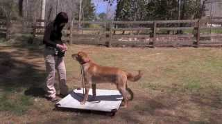 Dog Training, Masen, Golden Retriever, Day 1: Recall, Place, Follow, Loose-leash