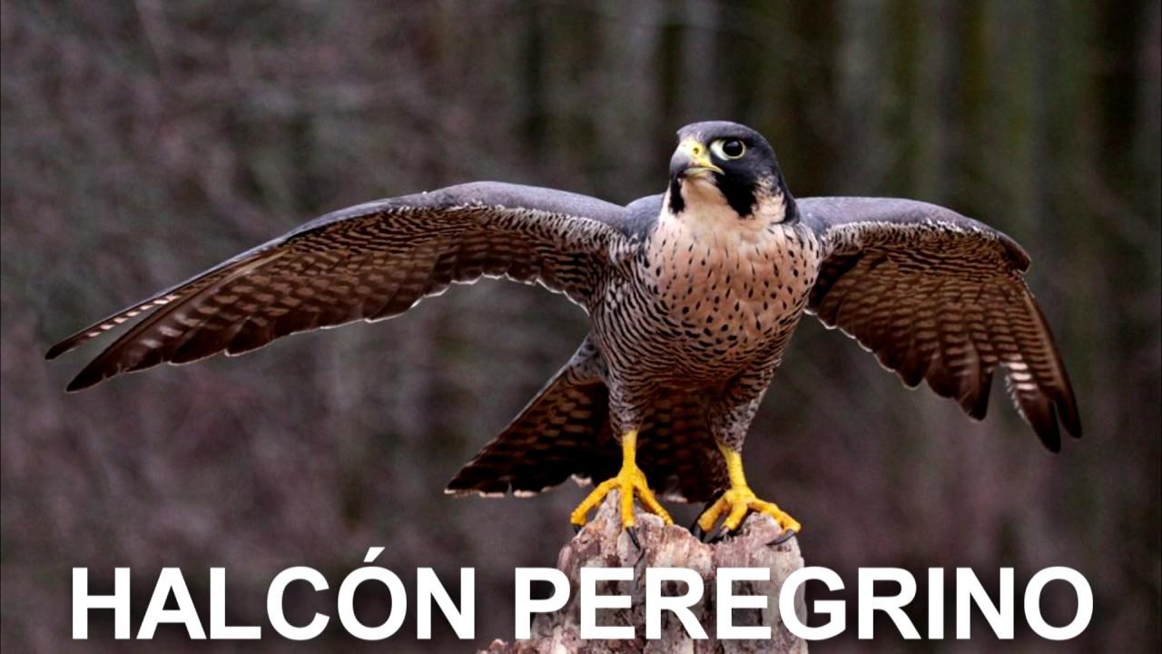 Las 10 Aves Más Rápidas Del Mundo Youtube