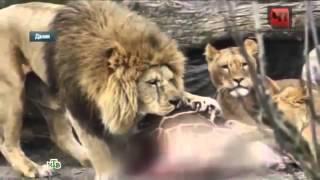 видео Смотреть веб-камеру Коалы в зоопарке Сан-Диего