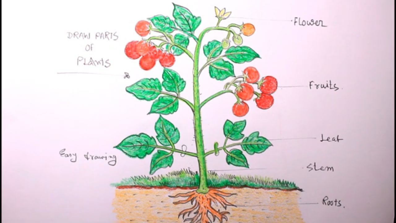 how to draw tomato plants step by step/draw a plant/tomato plant drawing -  youtube  youtube