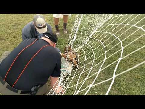 Great horned owl rescue Jackson Center Ohio