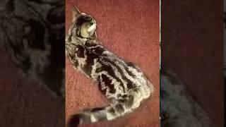 ОЧЕНЬ СМЕШНОЕ ВИДЕО! КОШКА ТАНЦУЕТ ЛАМБАДУ! (смешные животные)