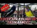 Kacer Isian Kolibri Tanpa Iklan Fasih Banget Boss  Mp3 - Mp4 Download