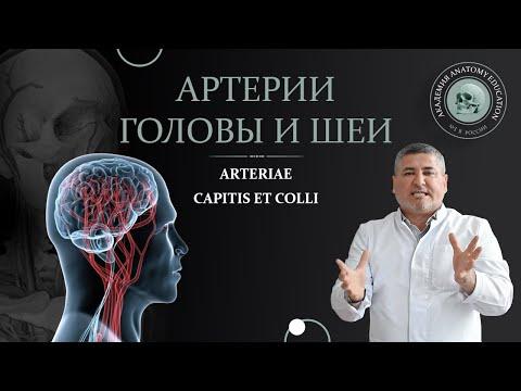 Наружная и внутренняя сонные артерии. Артерии головы и шеи