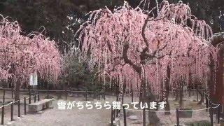 結城神社しだれ梅 2016