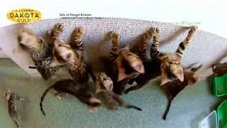 Dakota Gold, официальный питомник бенгальской кошки, бенгальские котята играют на стене
