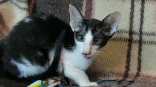 Сиамо-ориентальные котята, д.р.: 18.06.2018 Киев