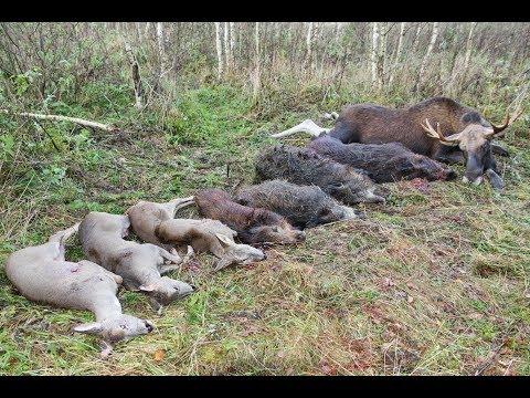 Охота на лося, кабана и косулю. Охота в Республике Беларусь, часть-1.